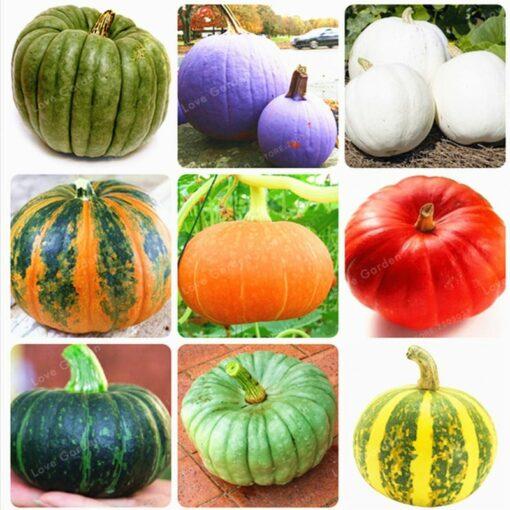 10 Pcs Bag Pumpkin Bonsai Organic Vegetables Nutrient Rich Food NON GMO Edible Bonsai Plants For 1 510x510 - 10 pcs 16 kind of Color Rare Pumpkin Seeds - vegetable-seeds -