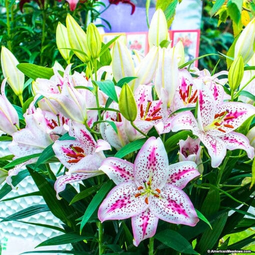 100pcs bag 24 colors lily bonsai cheap perfume lilies plant for Garden and home Mixing different 4 510x510 - 100PCS Perfume Lily Seeds - liliy-seeds, flower-seeds -