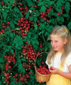 1171 q23v5a 247x296 - 120 Pcs RARE HEIRLOOM Italian Tomato Seeds - vegetable-seeds -