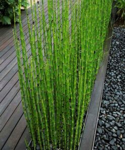 1260 vetqth 247x296 - 60 Pcs Indoors Fresh Moso Bamboo Seeds - bonsai-tree, bamboo -
