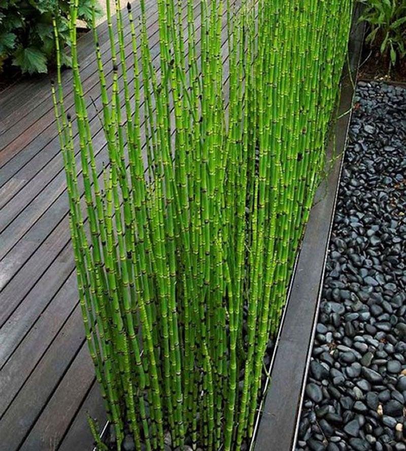 60 Pcs Indoors Fresh Moso Bamboo Seeds