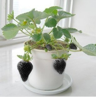 1361 lgjyqi - 500 Pcs Strawberry Seeds Fragaria Fruit Seeds For Home Garden - fruit-seeds -