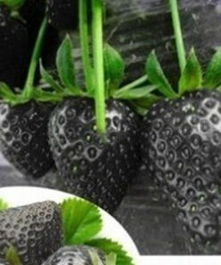 1361 nwkyya 247x296 - 500 Pcs Strawberry Seeds Fragaria Fruit Seeds For Home Garden - fruit-seeds -