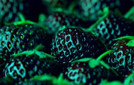 1361 sbfmcw 510x325 - 500 Pcs Strawberry Seeds Fragaria Fruit Seeds For Home Garden - fruit-seeds -