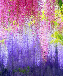 1372 pvqdms 247x296 - 5 Pcs Purple Wisteria Bonsai Flower Seeds - wisteria, bonsai-tree -