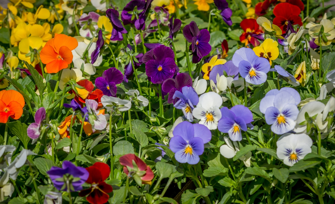 1531907794 pansy heat tolerance can you grow pansies in summer months takeseeds com - Pansy Heat Tolerance - Can You Grow Pansies In Summer Months