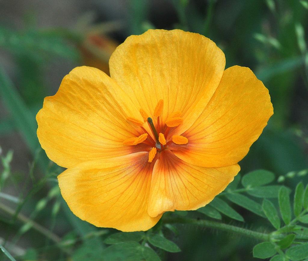 1531949978 arizona poppy plants how to care for arizona poppies in native gardens takeseeds com - Arizona Poppy Plants - How To Care For Arizona Poppies In Native Gardens