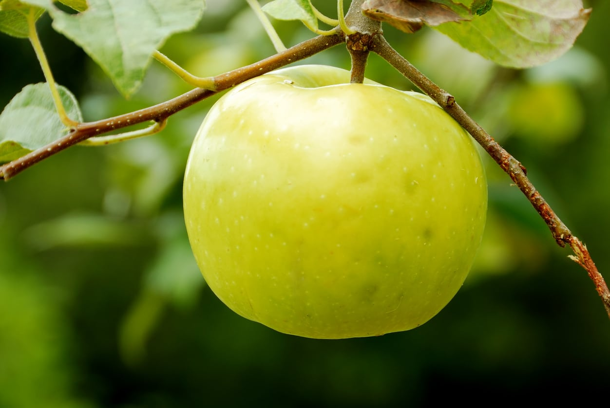1532044240 learn about growing lodi apples takeseeds com - Learn About Growing Lodi Apples