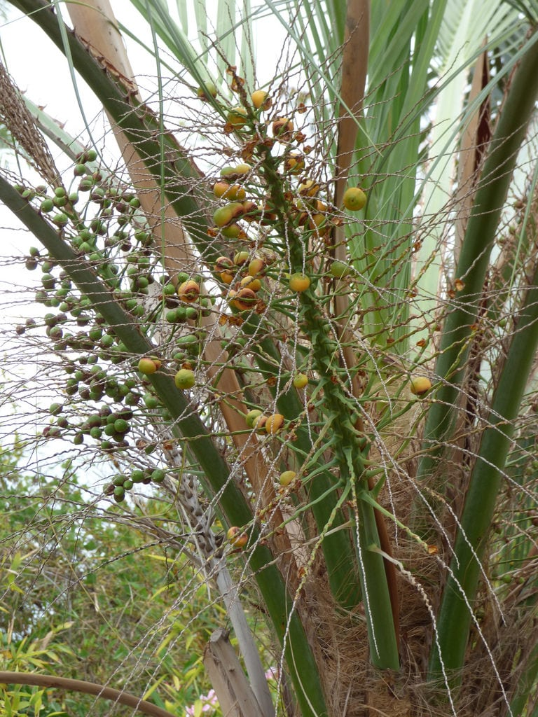 1532260858 how to propagate a pindo palm takeseeds com - How To Propagate A Pindo Palm