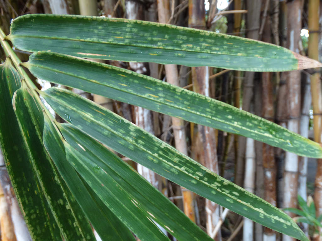 1532655120 tips for managing bamboo mites in the garden takeseeds com - Tips For Managing Bamboo Mites In The Garden
