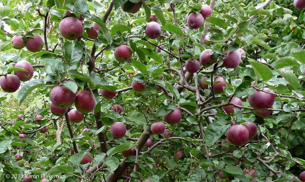 1533004917 learn about spartan apple uses and cultivation takeseeds com - Learn About Spartan Apple Uses And Cultivation