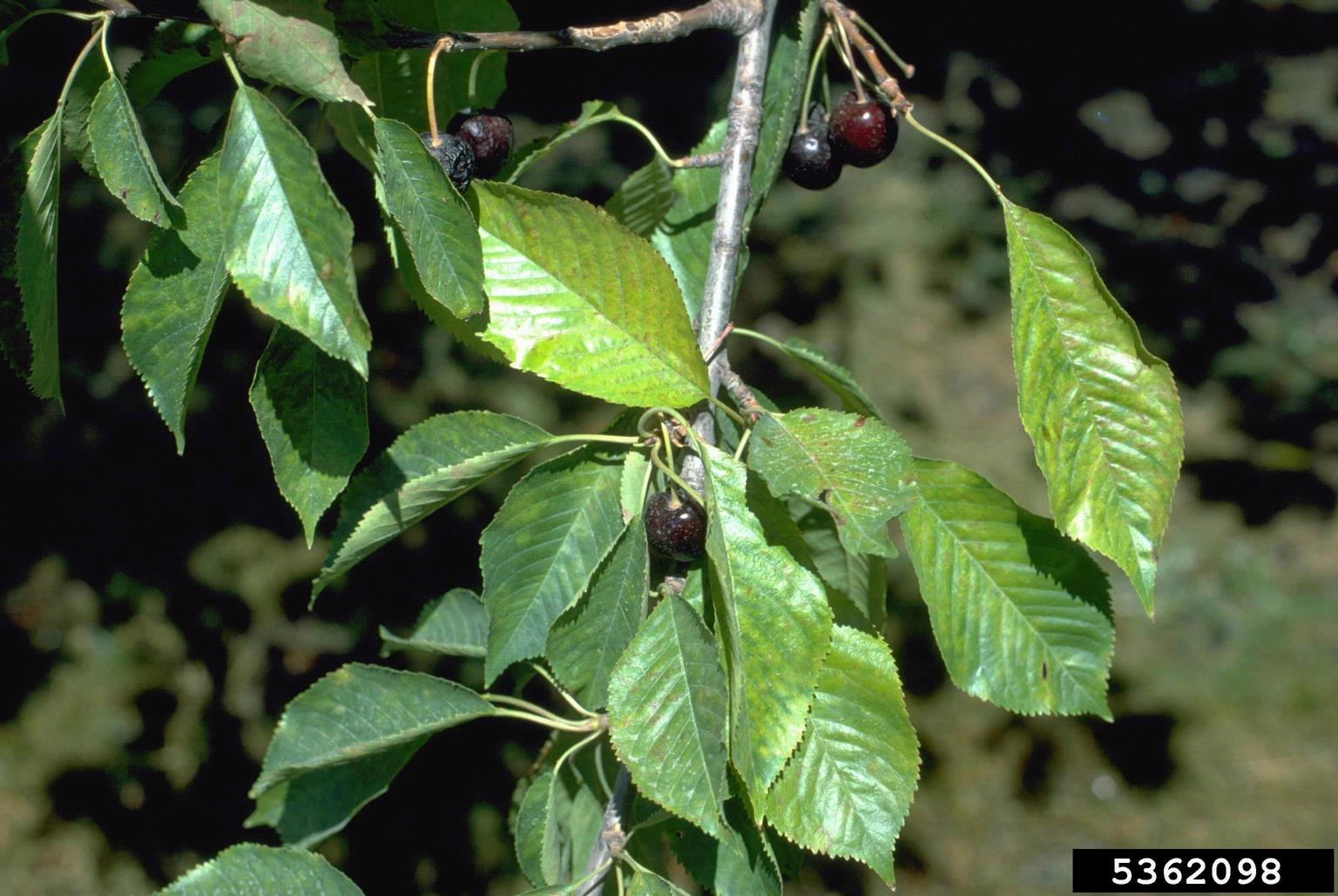 1533048521 rusty mottle cherry disease info takeseeds com - Rusty Mottle Cherry Disease Info