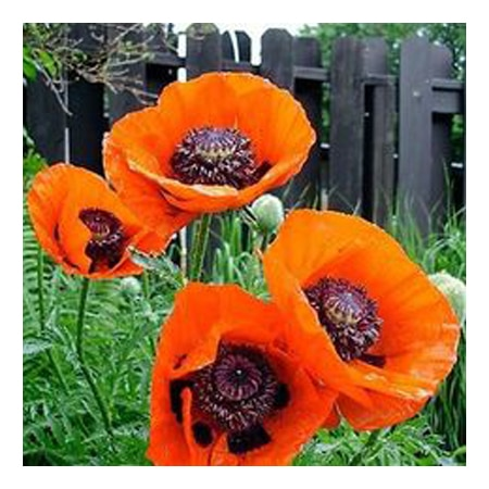200 pcs beautiful oriental poppy seeds takeseeds 919 c1des0 200 pcs beautiful oriental poppy seeds poppy seeds flower mightylinksfo