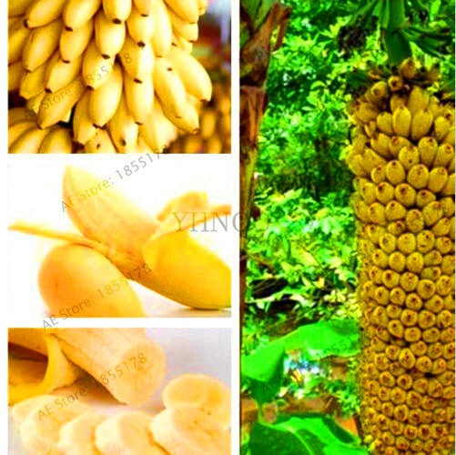 Big Promotion 100 pcs bag rare double Potted banana garden bonsai tree Organic fruit flores mini 1 - 100pcs Rare Giant Banana Seeds Fruit Trees Bonsai - fruit-seeds -