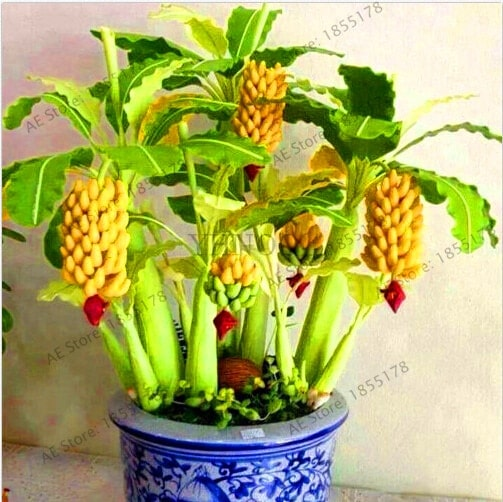 Big Promotion 100 pcs bag rare double Potted banana garden bonsai tree Organic fruit flores mini 3 - 100pcs Rare Giant Banana Seeds Fruit Trees Bonsai - fruit-seeds -