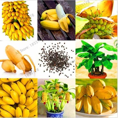 Big Promotion 100 pcs bag rare double Potted banana garden bonsai tree Organic fruit flores mini 4 - Big-Promotion-100-pcs-bag-rare-double-Potted-banana-garden-bonsai-tree-Organic-fruit-flores-mini_4