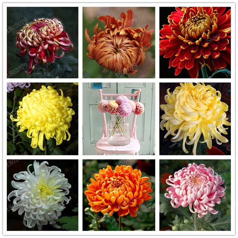 Chinese mum flores Rare Perennial Flower plantas Indoor Bonsai Plants Chrysanthemum plant For Home Garden mixed 2 - Chinese-mum-flores-Rare-Perennial-Flower-plantas-Indoor-Bonsai-Plants-Chrysanthemum-plant-For-Home-Garden-mixed_2