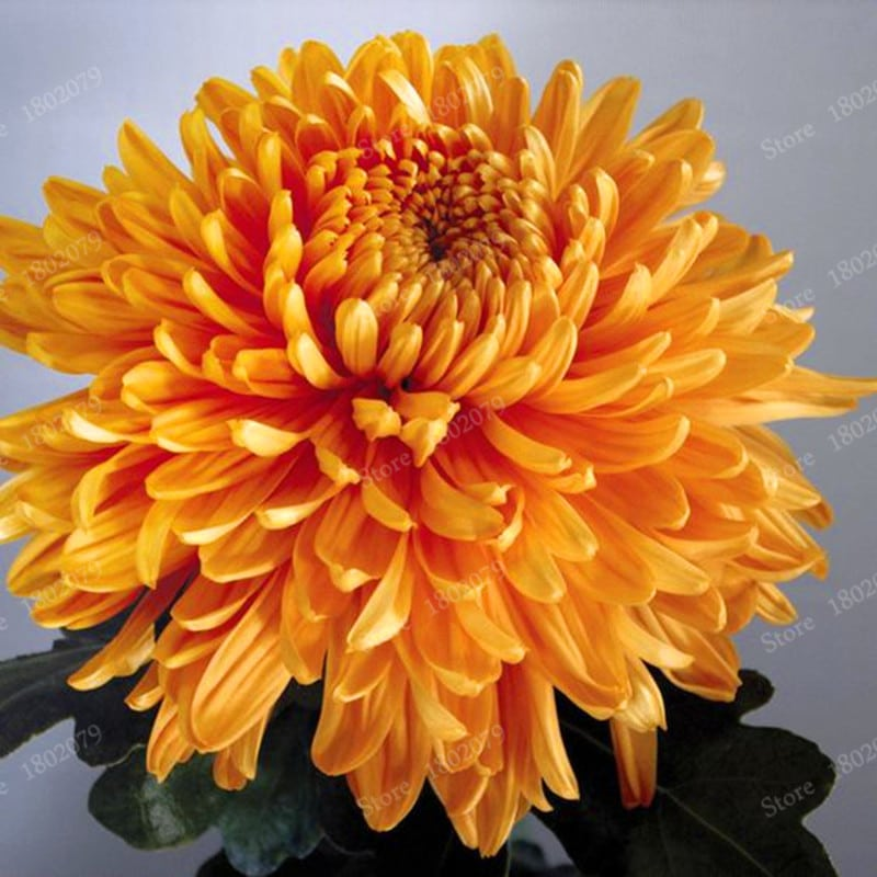Chinese mum flores Rare Perennial Flower plantas Indoor Bonsai Plants Chrysanthemum plant For Home Garden mixed 3 - Chinese-mum-flores-Rare-Perennial-Flower-plantas-Indoor-Bonsai-Plants-Chrysanthemum-plant-For-Home-Garden-mixed_3