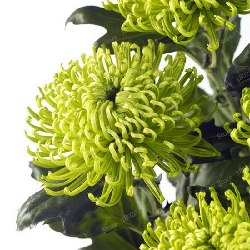 Chinese mum flores Rare Perennial Flower plantas Indoor Bonsai Plants Chrysanthemum plant For Home Garden mixed 6 - Chinese-mum-flores-Rare-Perennial-Flower-plantas-Indoor-Bonsai-Plants-Chrysanthemum-plant-For-Home-Garden-mixed_6
