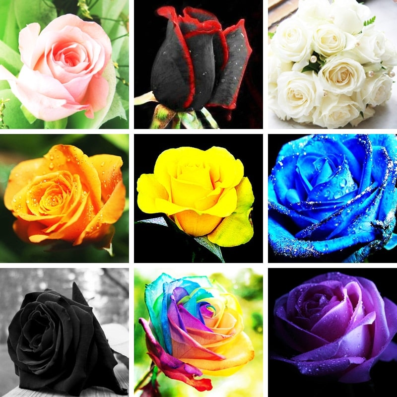 Mixed Rose Four Seasons Sowing Perennial Flowers Rose Easy To Maintain 120seeds pack 1 - Mixed-Rose-Four-Seasons-Sowing-Perennial-Flowers-Rose-Easy-To-Maintain-120seeds-pack_1