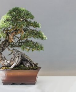 bonsai 1805501 12801 247x296 - Big Sale