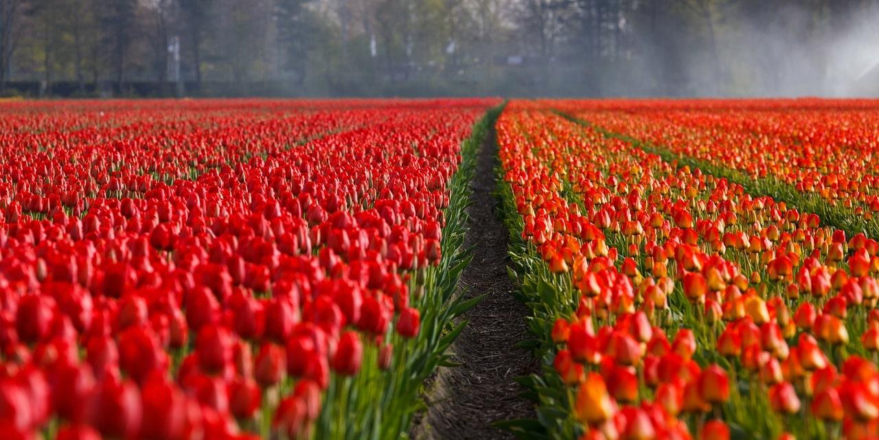 tulips 21690 12801 - tulips-21690_1280[1]