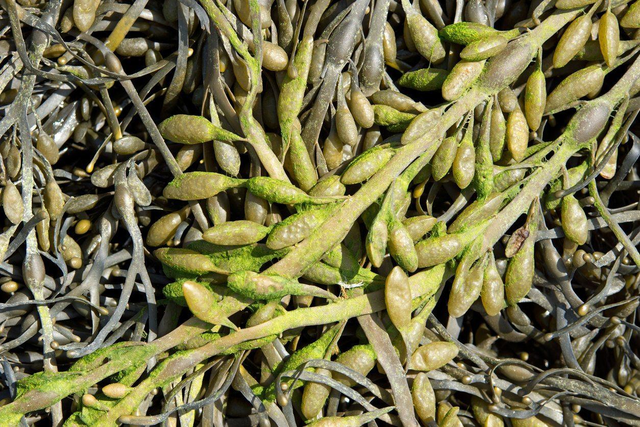 1533179032 how to make seaweed fertilizer takeseeds com - How To Make Seaweed Fertilizer