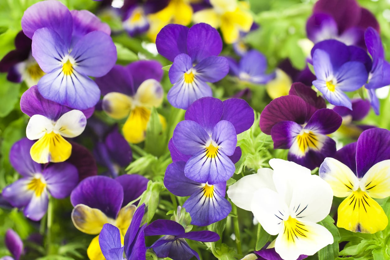 1533222382 pansies not flowering what to do when your pansies wont bloom takeseeds com - Pansies Not Flowering - What To Do When Your Pansies Won't Bloom