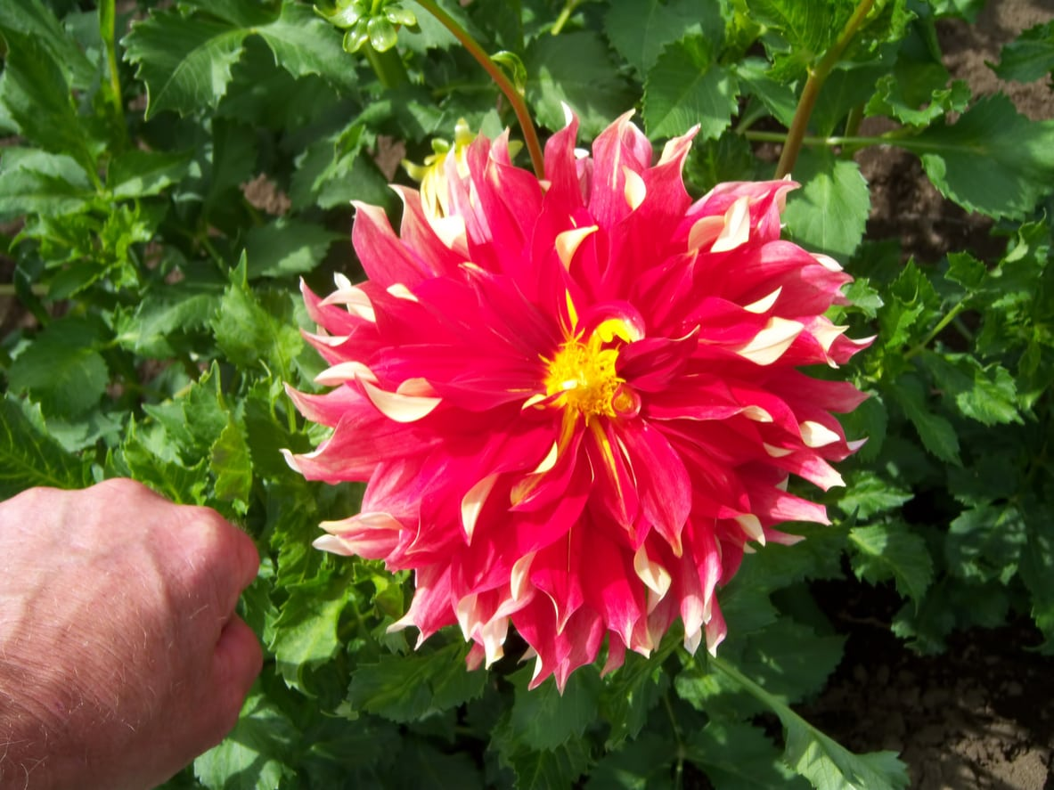 1533265618 what are dinnerplate dahlias tips for dinnerplate dahlia care and maintenance takeseeds com - What Are Dinnerplate Dahlias - Tips For Dinnerplate Dahlia Care And Maintenance