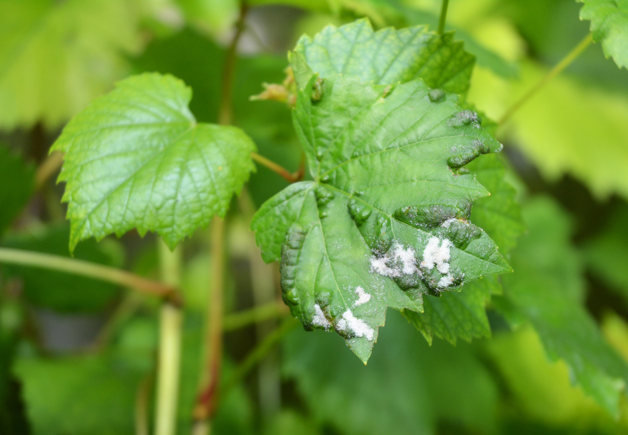1533527526 grape powdery mildew control how to manage powdery mildew on grapevines takeseeds com - Grape Powdery Mildew Control - How To Manage Powdery Mildew On Grapevines