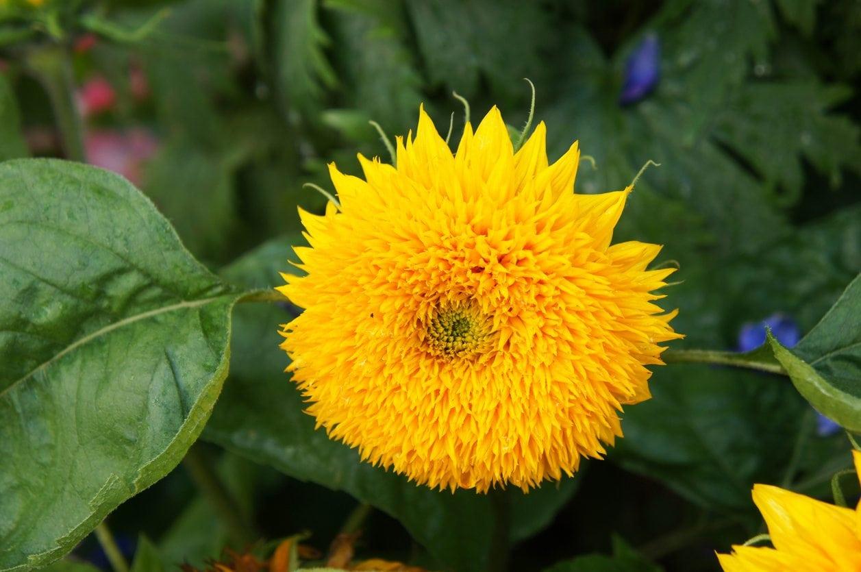 1534308880 learn how to grow a teddy bear sunflower takeseeds com - Learn How To Grow A Teddy Bear Sunflower