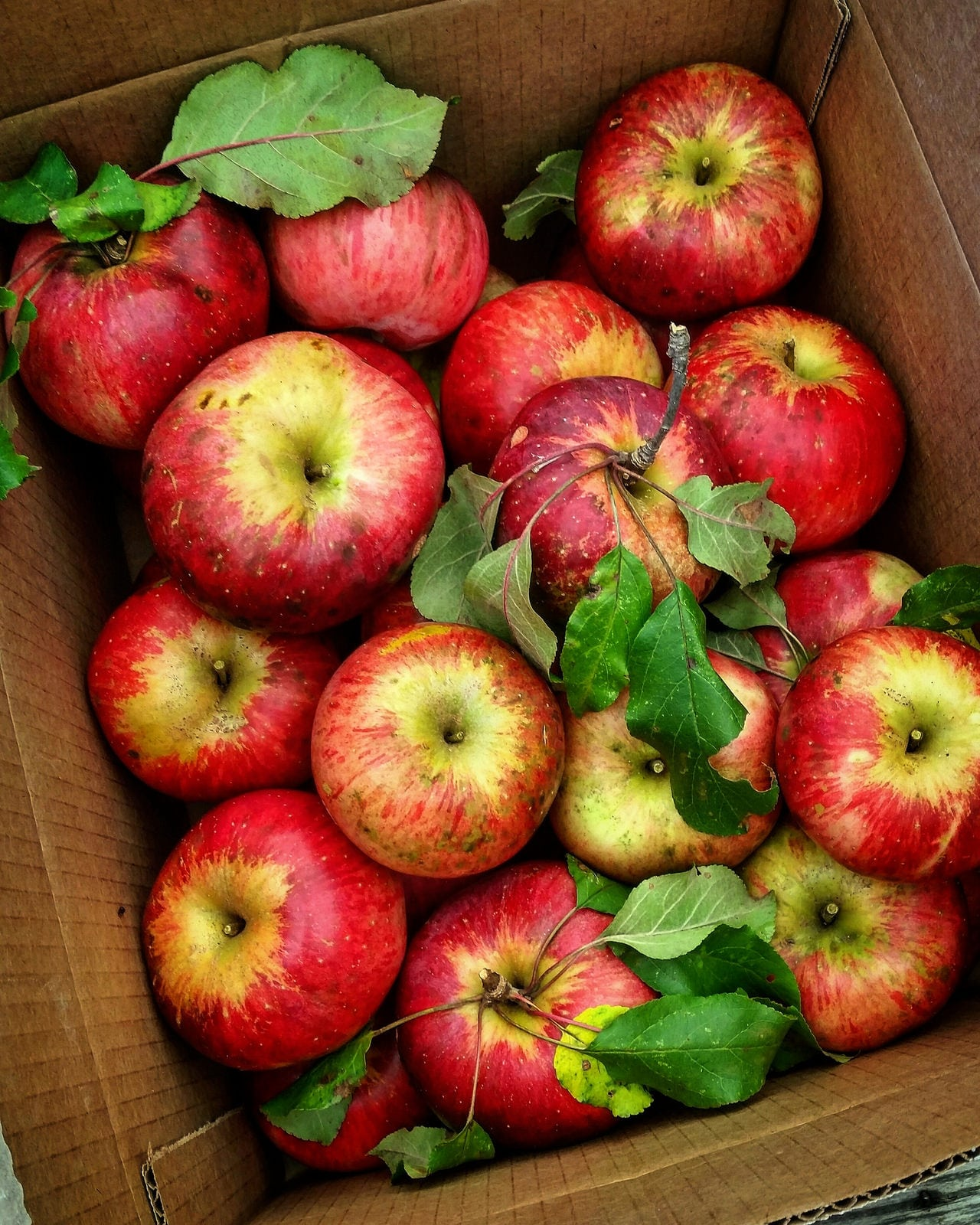 1534612198 how to grow wolf river apples in the landscape takeseeds com - How To Grow Wolf River Apples In The Landscape