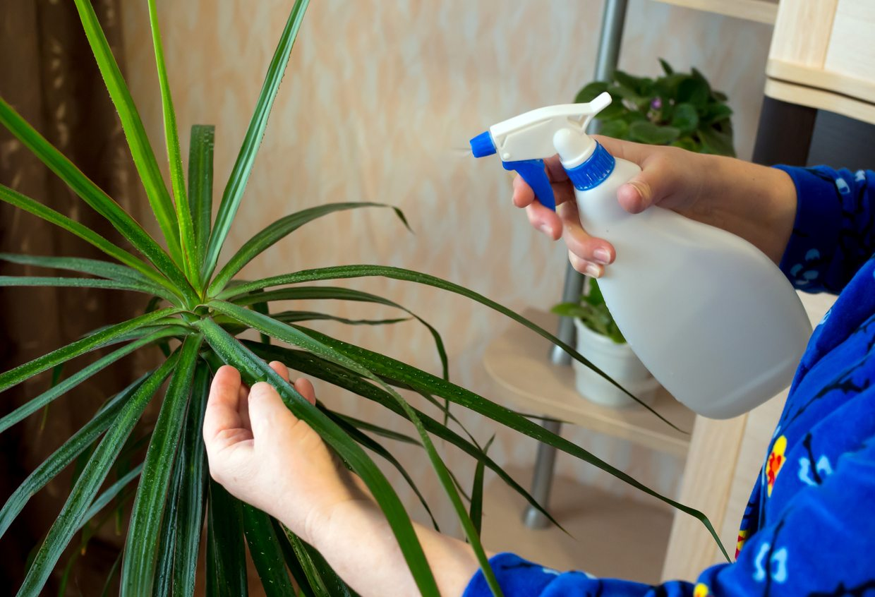 1534699214 how to manage dracaena pest problems takeseeds com - How To Manage Dracaena Pest Problems