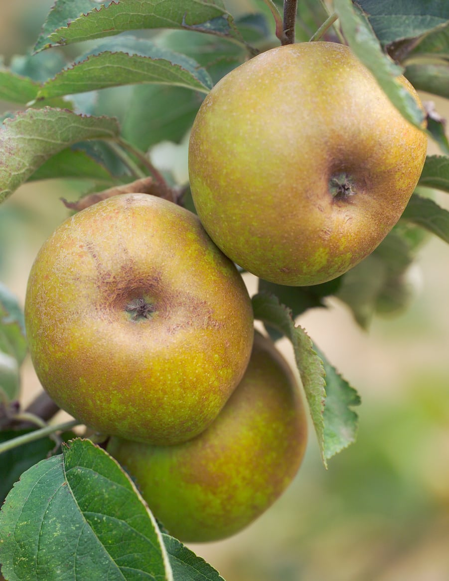 1534785942 ashmeads kernel info learn how to grow ashmeads kernel apple trees takeseeds com - Ashmead?s Kernel Info - Learn How To Grow Ashmead?s Kernel Apple Trees