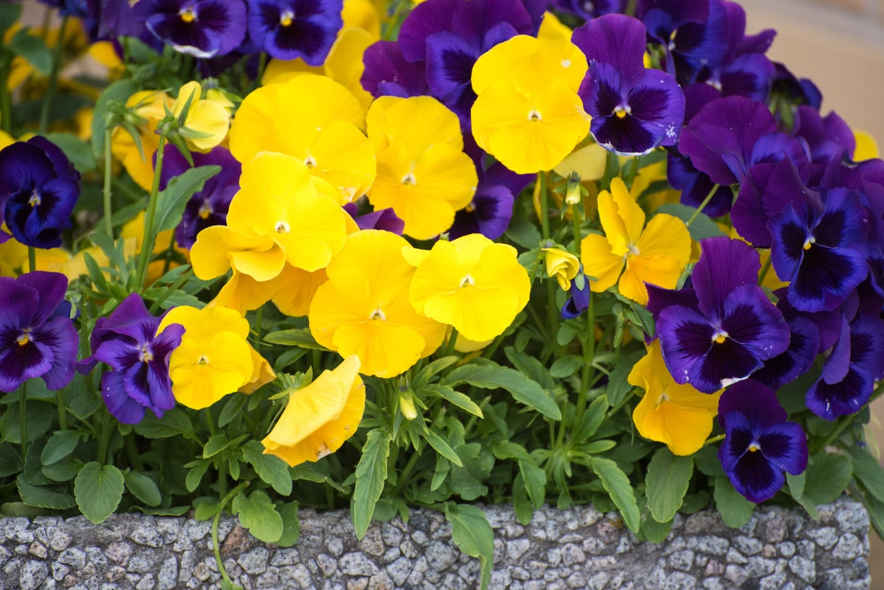 1534916137 when do pansies bloom do pansies bloom in summer or winter takeseeds com - When Do Pansies Bloom - Do Pansies Bloom In Summer Or Winter