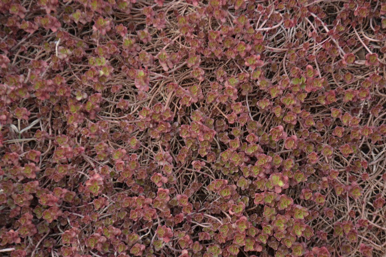 1535089238 sedum dragons blood variety growing dragons blood sedum in gardens takeseeds com - Sedum ?Dragon?s Blood? Variety - Growing Dragon?s Blood Sedum In Gardens