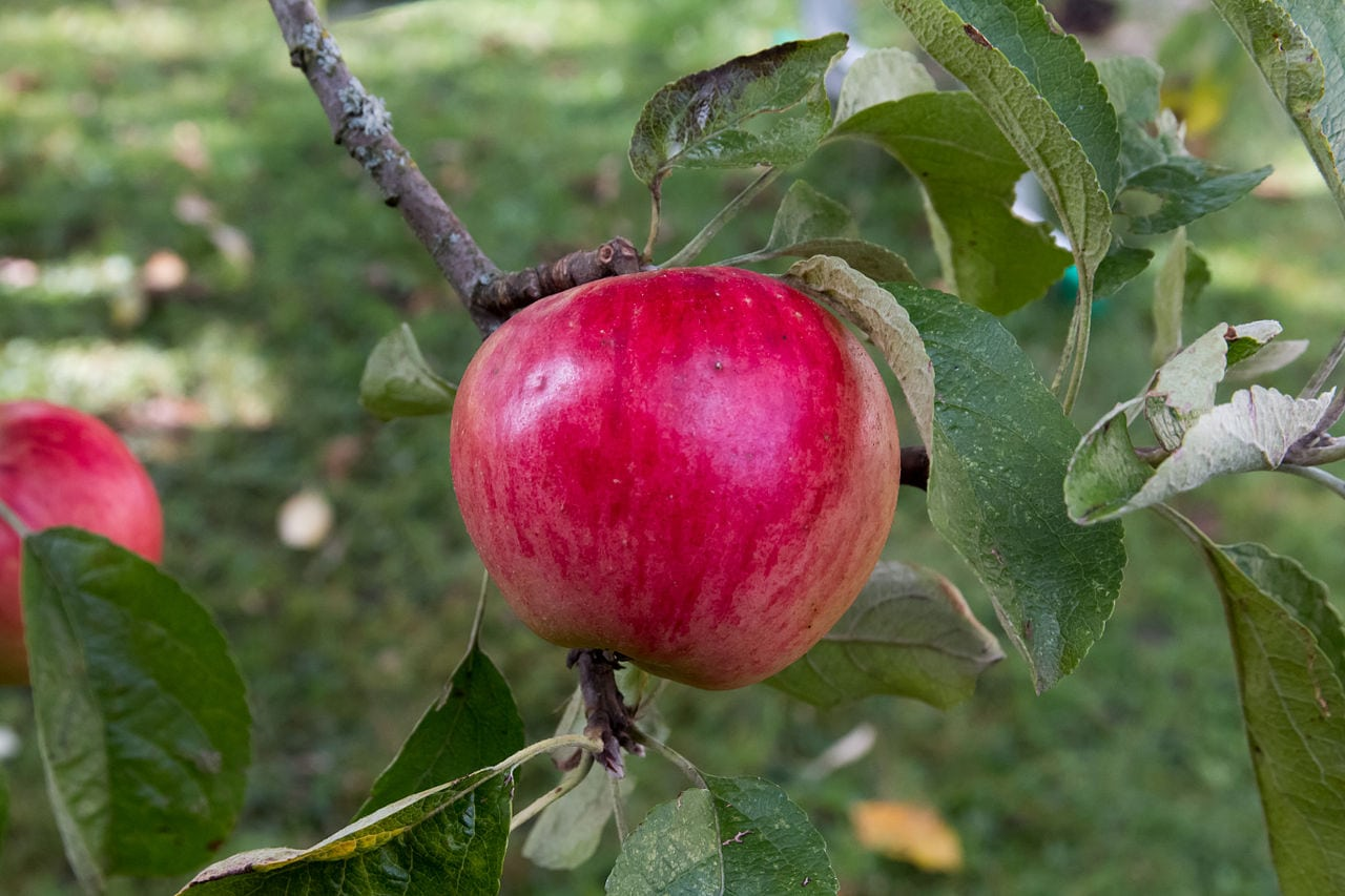 1535132534 akane growing requirements how to grow akane apples in the landscape takeseeds com - Akane Growing Requirements - How To Grow Akane Apples In The Landscape