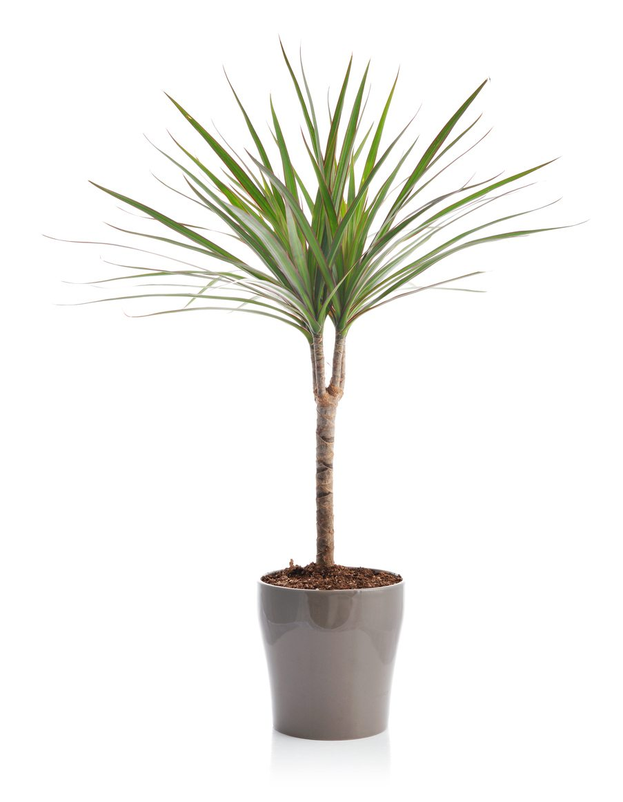 1535912425 dracaena pruning guide how and when should i cut back a dracaena takeseeds com - Dracaena Pruning Guide - How And When Should I Cut Back A Dracaena
