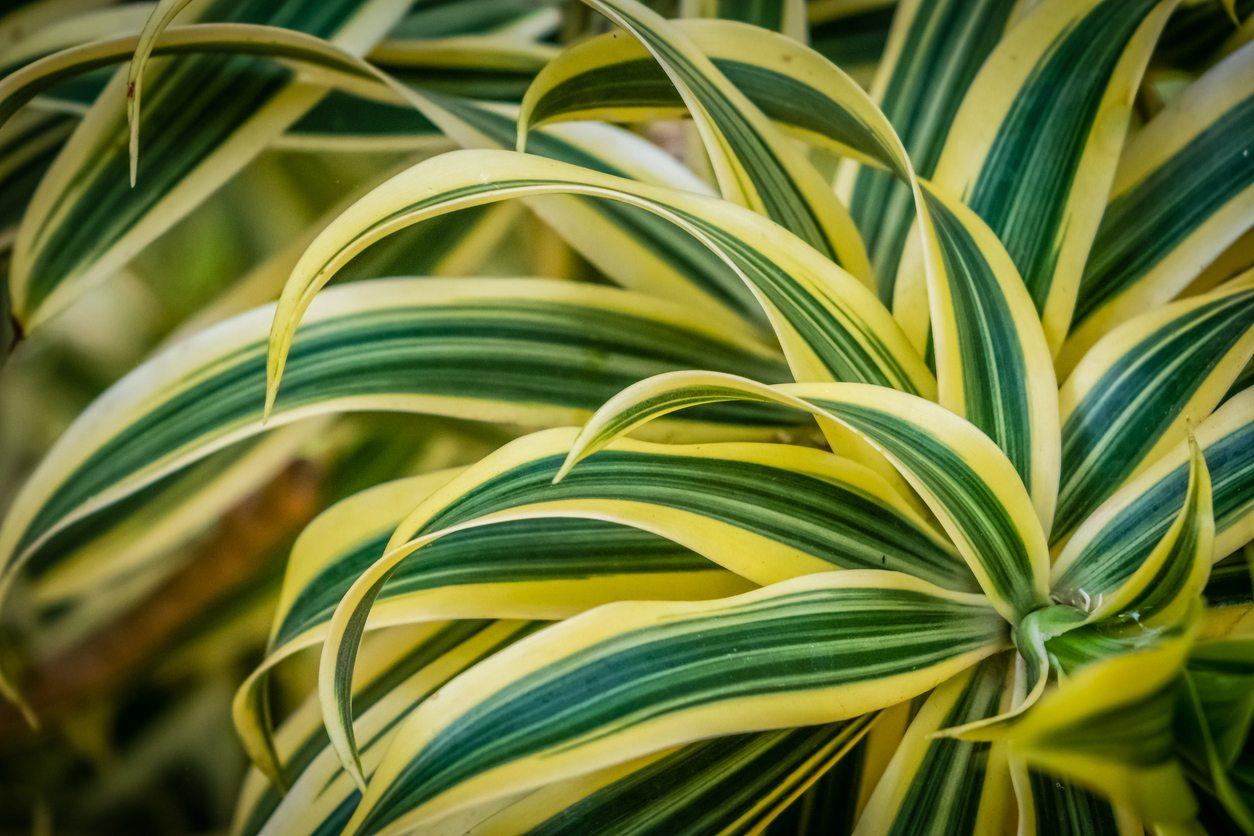 1536085634 dracaena plant varieties what are the best kinds of dracaenas to grow takeseeds com - Dracaena Plant Varieties - What Are The Best Kinds Of Dracaenas To Grow