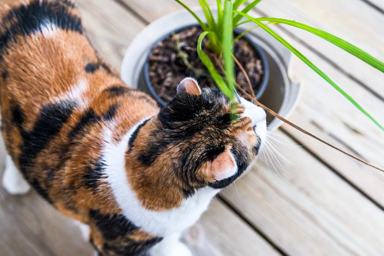 1536172514 is your cat or dog eating dracaena takeseeds com - Is Your Cat Or Dog Eating Dracaena