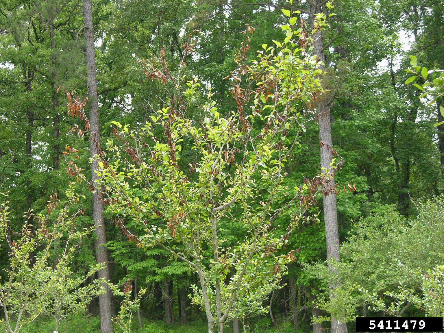 1536691952 mayhaw fire blight control treating a mayhaw with fire blight disease takeseeds com - Mayhaw Fire Blight Control - Treating A Mayhaw With Fire Blight Disease