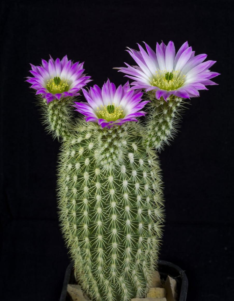 1536735418 learn how to grow echinocereus plant varieties takeseeds com - Learn How To Grow Echinocereus Plant Varieties