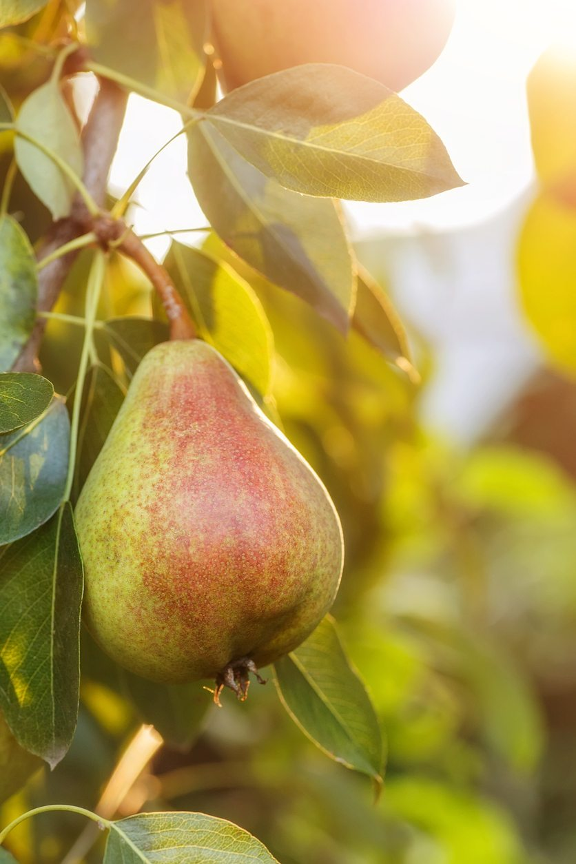 1536778647 growing a european pear in the landscape takeseeds com - Growing A European Pear In The Landscape
