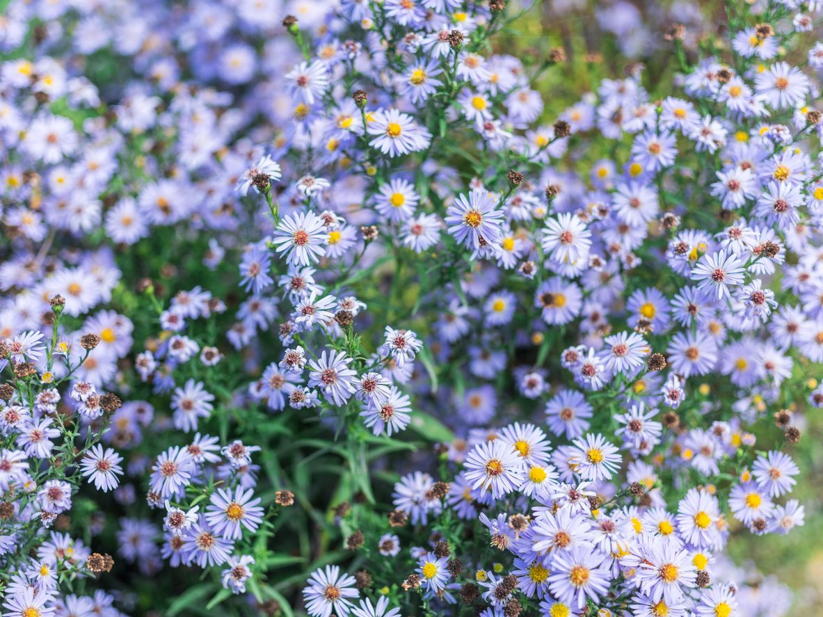 1536908542 popular types of blue aster plants takeseeds com - Popular Types Of Blue Aster Plants