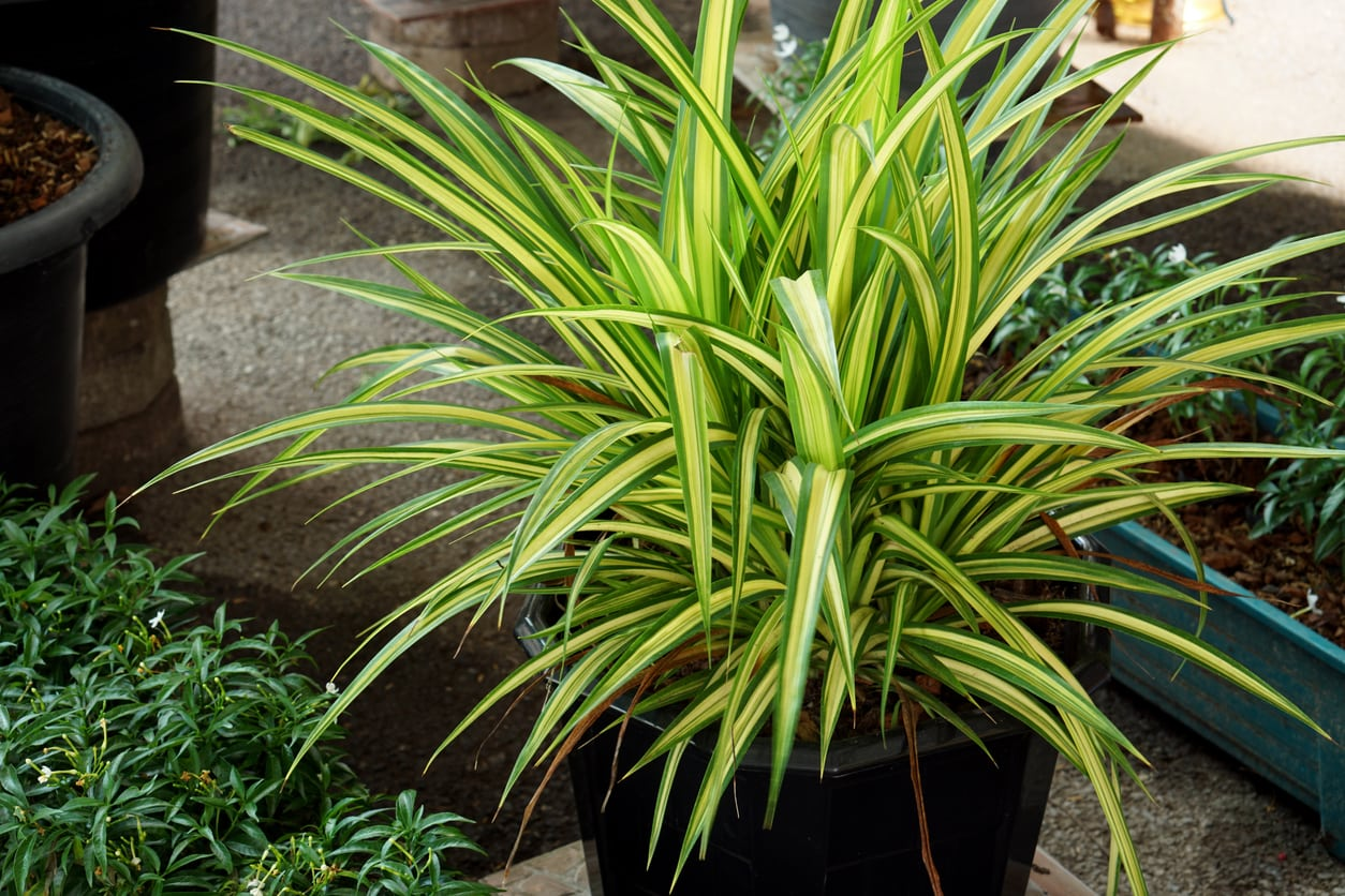 1537038854 when to feed a dracaena plant takeseeds com - When To Feed A Dracaena Plant