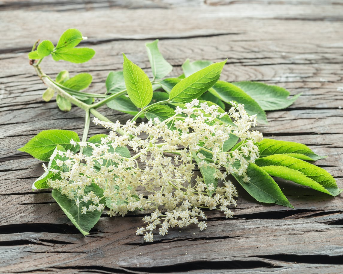 1537255751 why you should grow elderberries for their flowers takeseeds com - Why You Should Grow Elderberries For Their Flowers