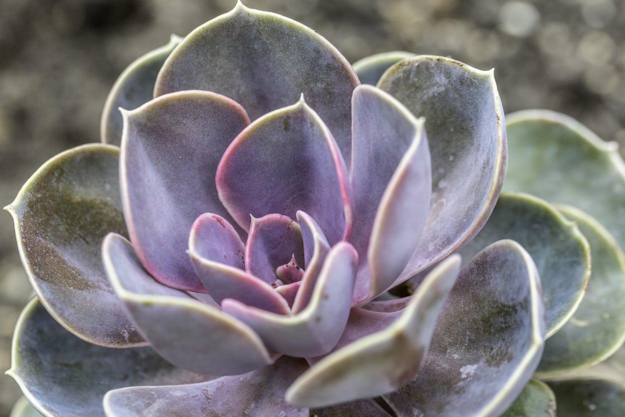 1537558867 echeveria plant care how to grow a painted lady succulent takeseeds com - Echeveria Plant Care – How To Grow A Painted Lady Succulent