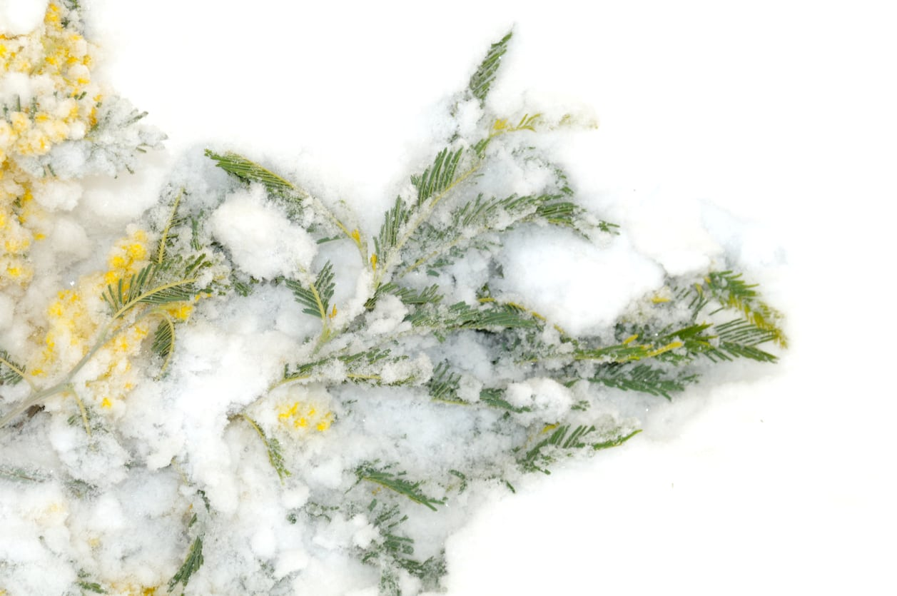 1537602074 do acacias bloom in winter takeseeds com - Do Acacias Bloom In Winter