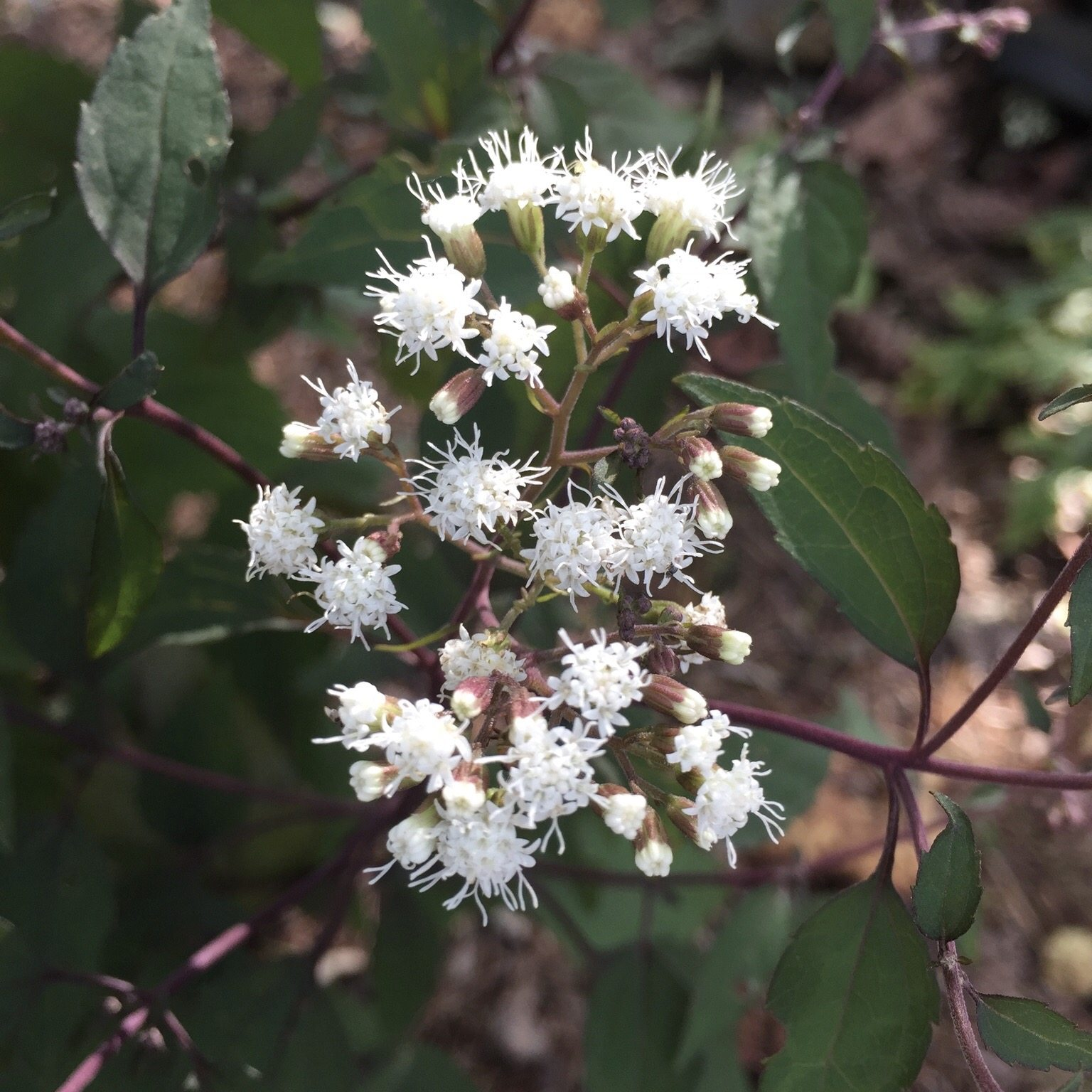 1537645352 what is boneset learn about boneset plant uses and care takeseeds com - What Is Boneset - Learn About Boneset Plant Uses And Care