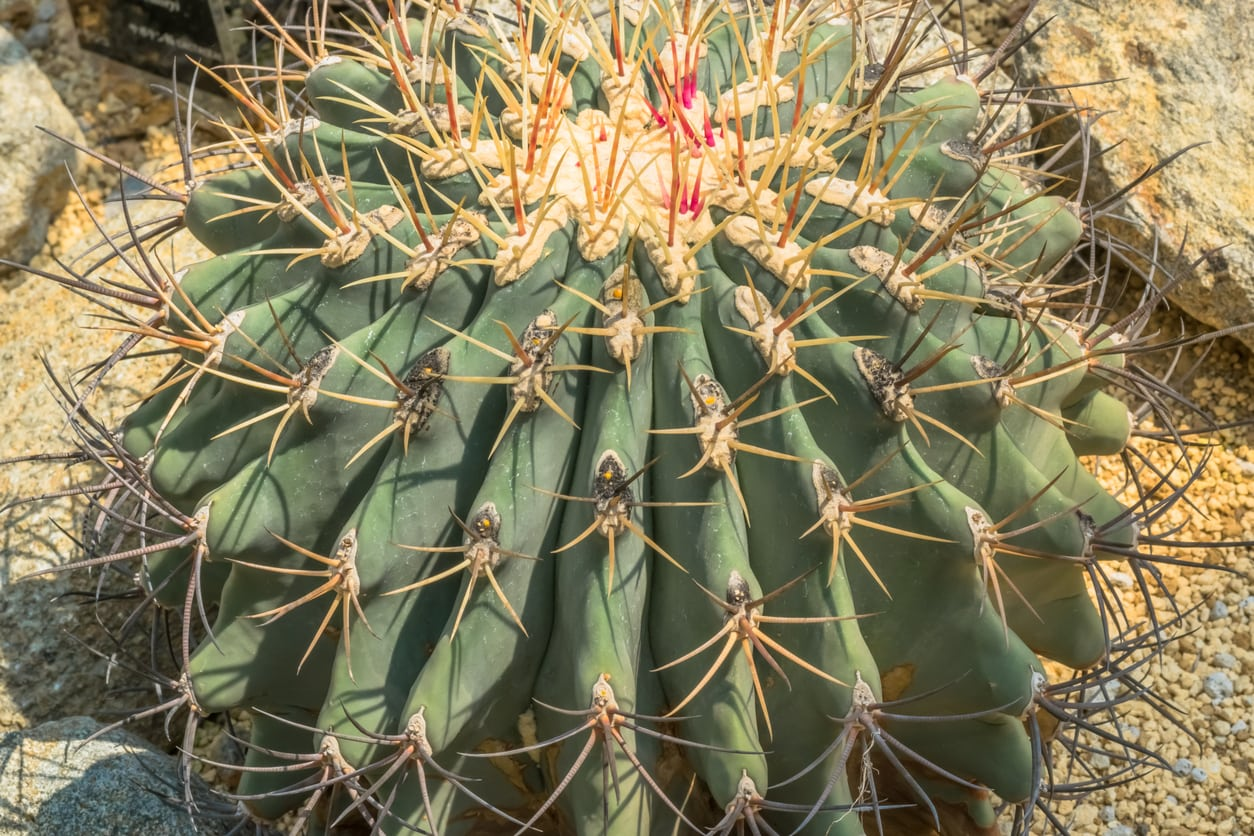 1537819248 tips on caring for emorys barrel cactus takeseeds com - Tips On Caring For Emory's Barrel Cactus